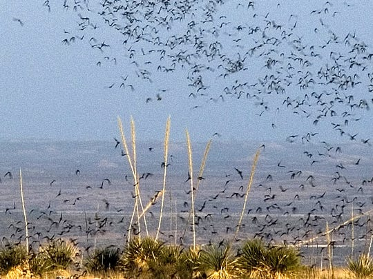 Brazilian free-tailed bats exit Carlsbad Caverns to feed.