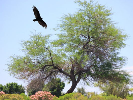 Turkey vulture at Gold Canyon