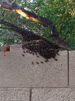 A recent swarm of bees settles in backyard of Valley home.