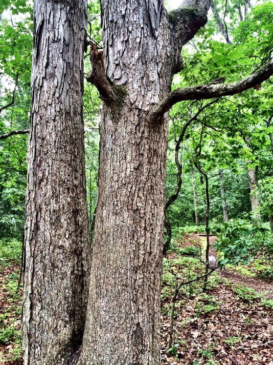 sby white oak 2
