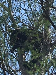 A black bear at Three Oaks Elementary School was chased up a tree by wildlife officers who had hoped to tranquilize the animal and transport it to a wilderness area on Wednesday.