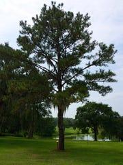 The Moon Loblolly Pine