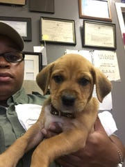 Springfield Animal Control Officer Zoraida Luna with the two-month-old female Labrador mix she rescued from a Springfield trash can Tuesday morning.
