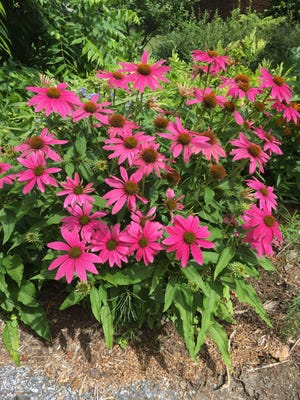 Perennials are ideal because of their ease of growing, their ability to stand up to our hottest summer days and their ability to attract pollinators to my garden.