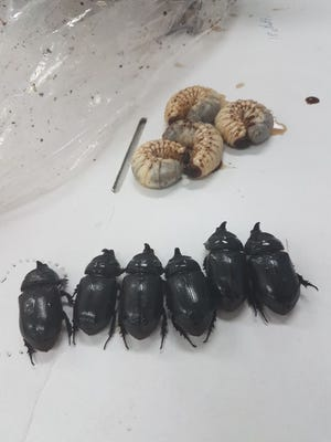 Samples of adult coconut rhinoceros beetles and larvae found in Rota are displayed.
