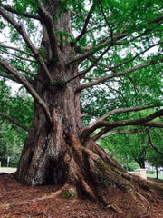 The beauty of this tree at Christmount demonstrates