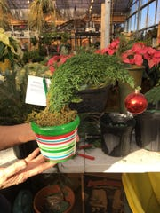 A false cypress is crafted into a Grinch hat and comes with a Merry Grinchmas greeting.