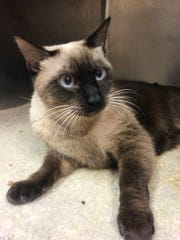 Cherry - Female (spayed) Siamese, about 8 years old.