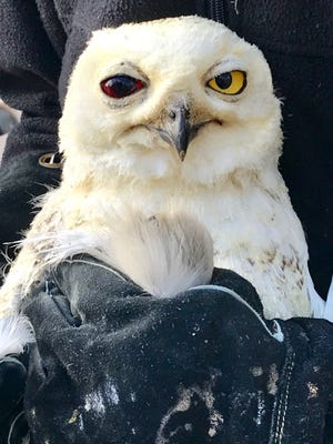 A sick and injured snowy owl at Raptor Rehabilitation of Kentucky on Dec. 20, 2017.