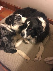 The Currys' Australian shepherds Jude, right, and Finn.