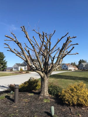 An example of a topped tree with branch ends cut off.