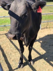 Black Beauty is a cow currently residing at the Mesa Union School. Sixth grade students in the agriculture class are learning about cattle and caring for Black Beauty through her pregnancy.