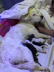 "Nova, or ""Momma,"" cares for her puppies. Five of the"