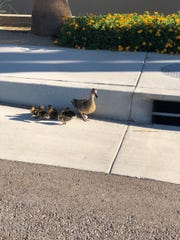 A duckling was separated from its mother and family after falling into a storm drain in Rancho Mirage, Thursday, June 28, 2018. Good Samaritans and neighbors were able to reunited the duckling with its mother.