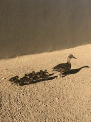 A duckling was separated from its mother and family