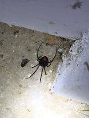 Entomologist Brian Ranes took this picture of a black widow spider in an Evansville home recently. He says it is not typical to find them inside.