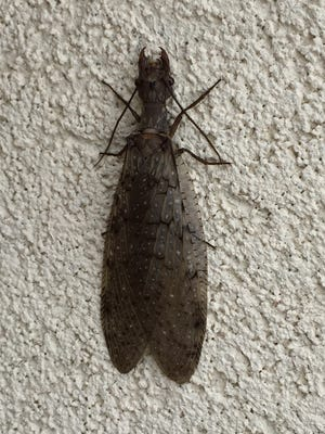 Aquatic insects like this adult female dobsonfly are commonly found next to flowing water.