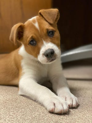 One of the many puppies waiting to be adopted at the Ardmore Animal Shelter. The shelter has taken in over 550 animals so far this month and currently over 200 are awaiting adoption.