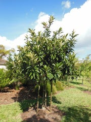 There are numerous mango cultivars that can be locally grown.