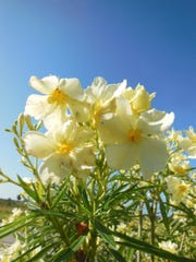 Oleander is a popular coastal area flowering shrub.