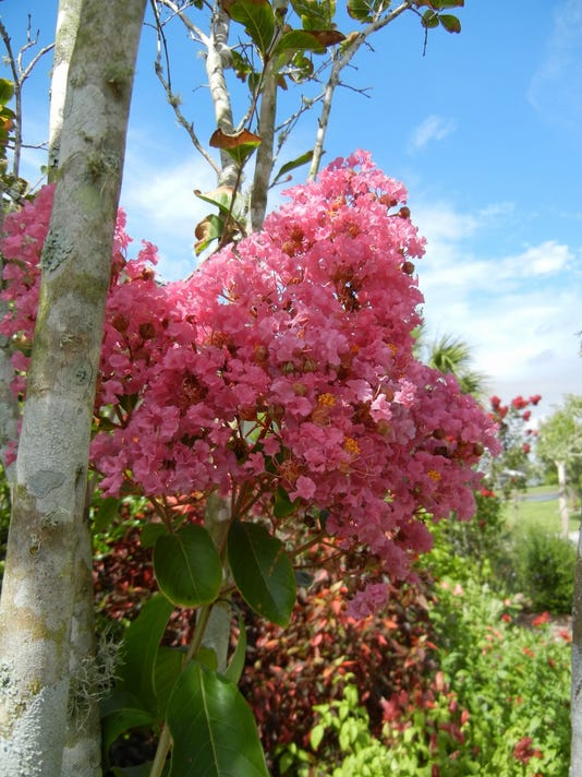 Crape myrtle trees requently offer seedlings that can be tranplanted if desi.jpg