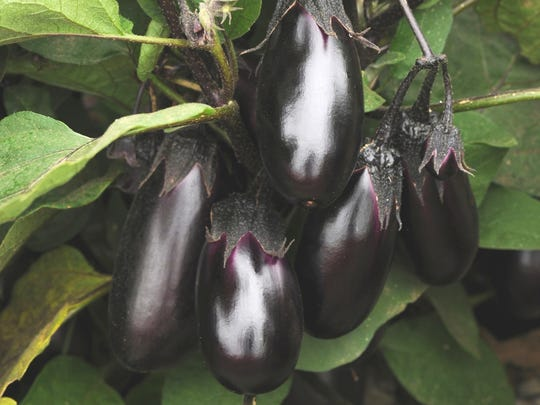 A 2014 All-America Selections Winner, Patio Baby eggplant