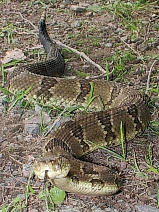 A Timber Rattlesnake, Yellow Phase