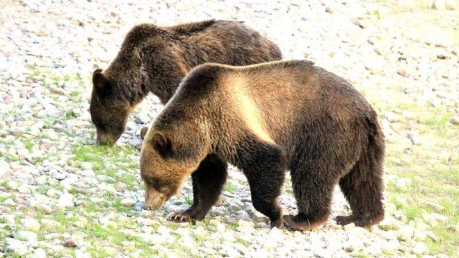 Grizzly bears in Glacier National Park.