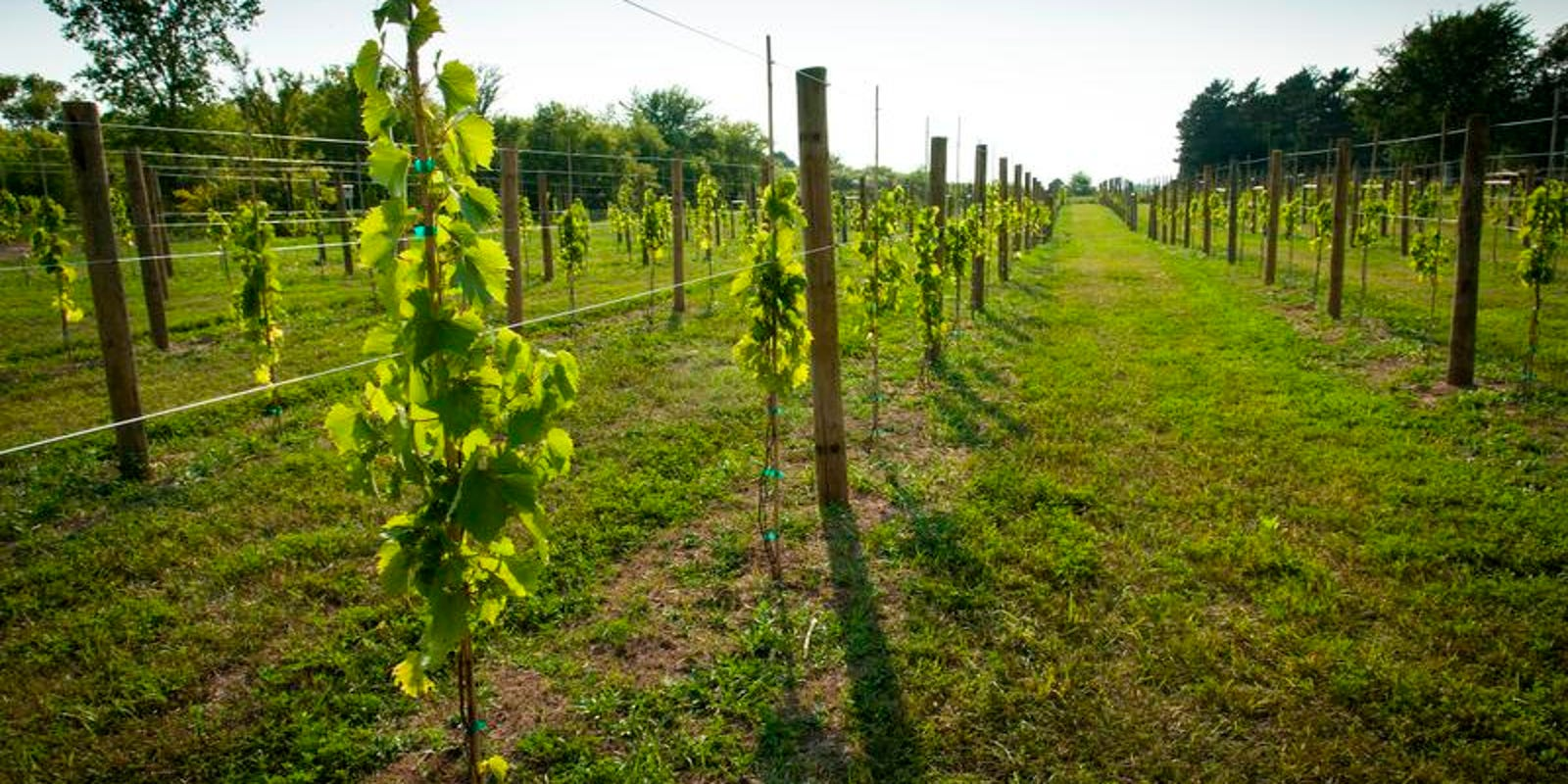 Yard Md Growing Delicious Nutritious Grapes Is Easier Than You Think