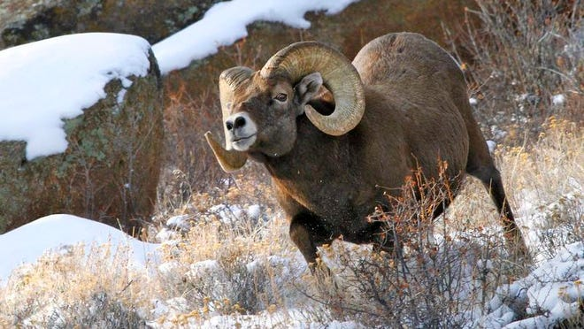U.S. Highway 34 in the Big Thompson Canyon is your best place to see the bighorn sheep, with an estimated herd of 80 to 90 animals living in the area.