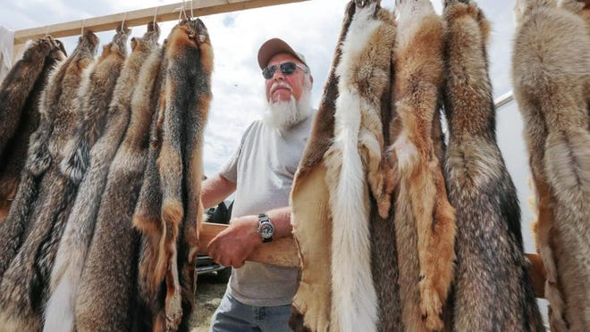 Sam Qualls of Kalkaska, in front of a wall of tanned coyote fur pelts he trapped, waits for customers at his booth July 25 during the 55th annual National Trappers Association convention and outdoor show at the Upper Peninsula State Fairgrounds in Escanaba. Above: Animal skulls sit for sale at a vendor's booth.