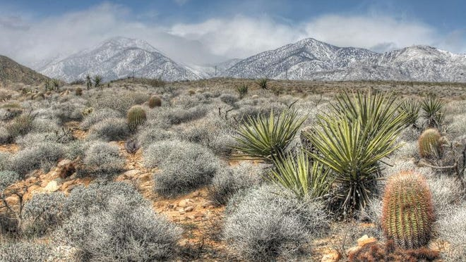 Barrel cacti and yucca species thrive near Mission Creek Preserve just west of Desert Hot Springs with the snow covered San Gorgonio mountain in the distance. This is a high dynamic range (HDR) image made from multiple exposures.