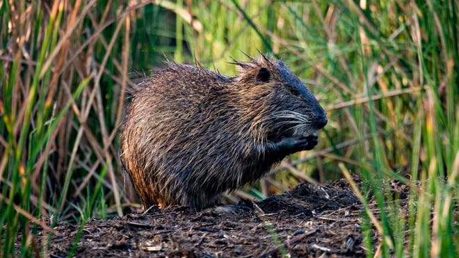 During the latest season, the state paid nearly $1.5 million to 259 hunters who turned in a combined 245,865 nutria tails.