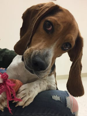 Daniel is a 5-year-old beagle boy who has a ton of personality! Just look at that face! Daniel likes to play with toys, and he likes to announce his presence as he walks on a leash. If you're looking for a sweet four-legged friend, you've gotta stop out and meet Daniel.