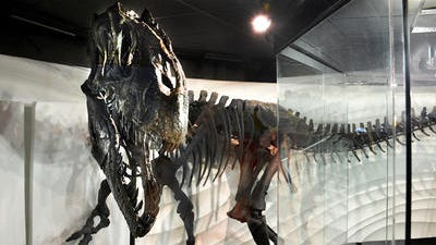 This allosaur, dubbed Ebenezer, went on display recently at the Creation Museum in Petersburg