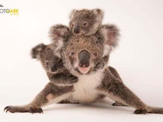 A federally threatened koala, Phascolarctos cinereus,