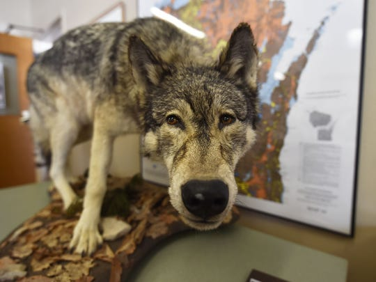 The hide of a wolf accidentally shot in 2004 in Forestville by a person hunting coyotes, who ended up being fined.