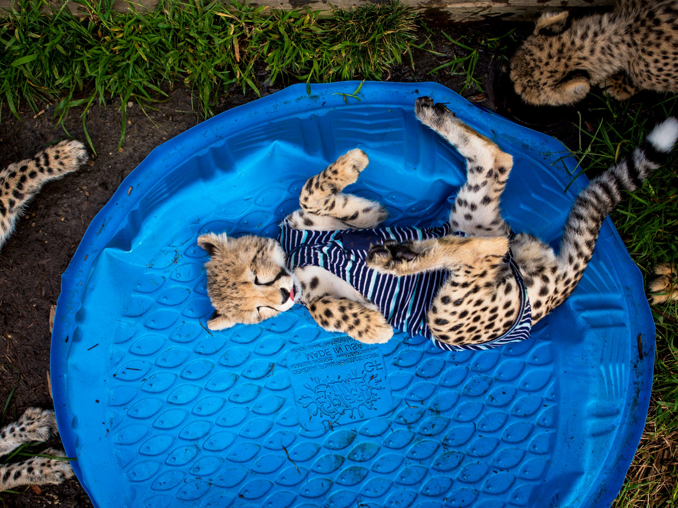 Redd, one of three Cincinnati Zoo cheetah cubs born prematurely during a rare C-section, rolls over in a plastic pool during playtime Wednesday, October 10, 2016.