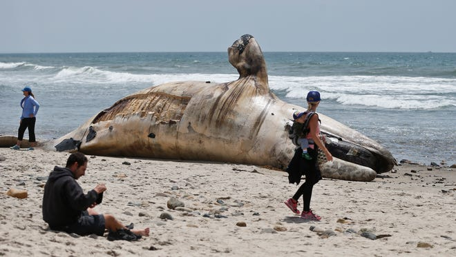 In this Tuesday, April 26, 2016 file photo, a woman carrying an infant on her back looks at a massive carcass of a whale at a popular California surfing spot in San Clemente, Calif.