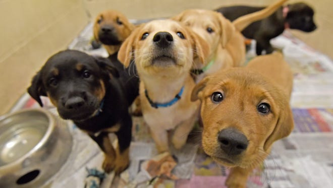 Six German Shepherd/labrador mix puppies will be available to be adopted on December 23rd from the Richland County Humane Society.