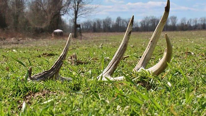 Shed hunting is a good way to see what deer are in your herd.