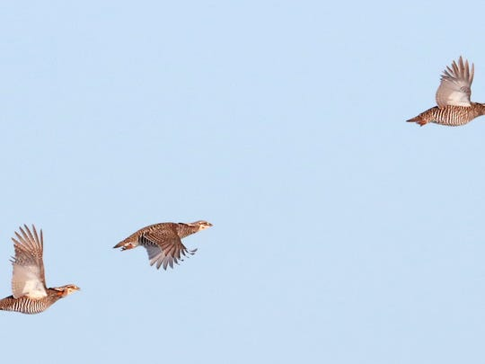 A trio of prairie chickens, part of a group of eight birds that had visited a lek, or breeding ground, on the Rudolphw, Wis. farm of Carl Flaig, take flight Thursday, April 5, 2018. The farm is surrounded by the Paul J. Olson Wildlife Area, home to an estimated 150 to 200 prairie chickens.