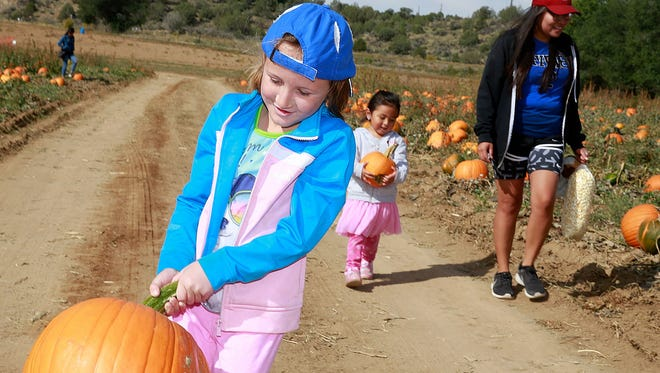 Abigail Baker, 7, of Farmington, lugs a large pumpkin from the fields during the Pumpkin Festival on Oct. 8, 2016, at Sutherland Farms.