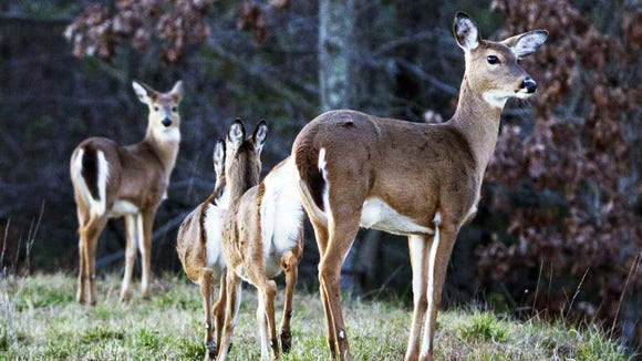Deer roam atop a berm in this file photo. The N.C. Wildlife Resources Commission has released its management plans for seven state game lands in North Carolina.