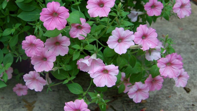 Colorful annuals, such as this Supertunia Vista Bubblegum petunia, will thrive with careful planting.