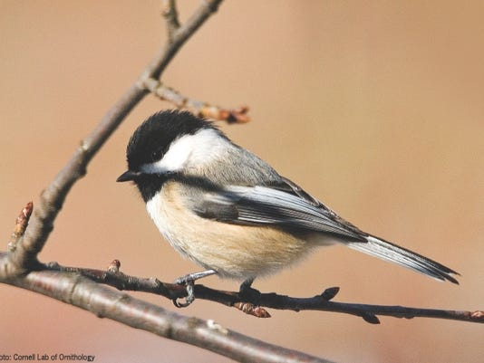 636354796584629331-black-capped-chickadee.jpg