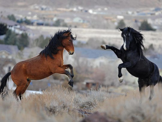 Two wild horses tangle in the Huffaker Hills in south