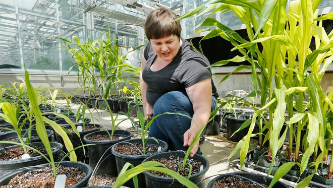 Elizabeth Buescher checks pigment accumulation in corn varieties Wednesday, May 25, 2016, inside a greenhouse on the campus of Purdue University. Buescher is a research associate at Purdue.