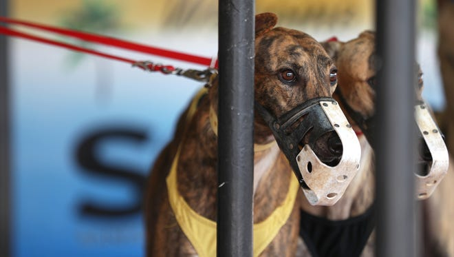 Greyhounds are brought out to the track for a race at the Sanford Orlando Kennel Club in Longwood on Friday, April 20, 2018. The Florida Greyhound Association filed the lawsuit in Leon County Thursday to remove Amendment 13, a ballot measure that wouldban dog racing across the state.