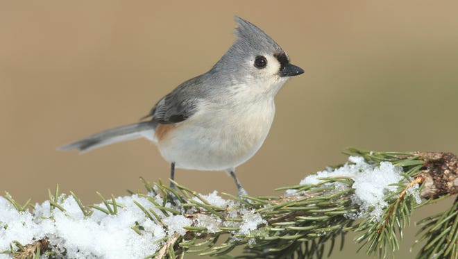 Tufted Titmouse enjoy many of the same foods that other songbirds do.